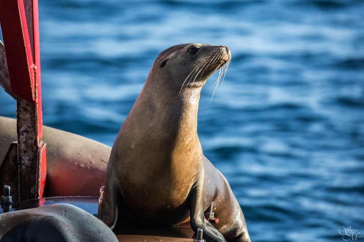 Sea lion on a buoy